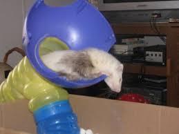 homemade ferret toys the ferret zone