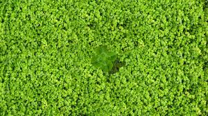 four leaf clover wallpapers hd