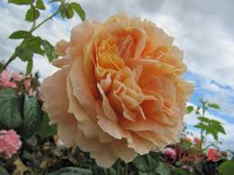 Lord Byron Climbing Rose - Style Roses