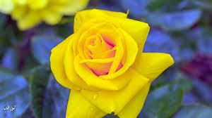 خلفيات ورود طبيعية روعه2017 اجمل ألوان الورد الطبيعي صور ورد جوري