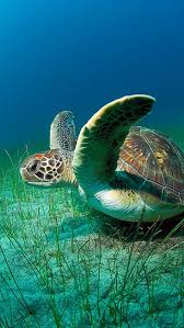 44 sea turtle iphone wallpaper on
