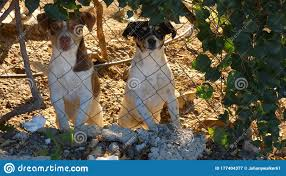 Two Pet Dogs Looking Through Garden Fence At Photographer Stock Image Image Of Fence Handsome 177404377