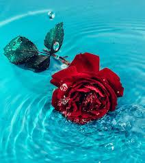 انستقرام ورد جوري احمر رومانسي