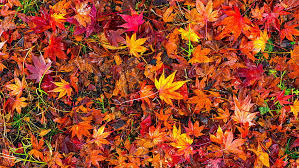 hd wallpaper red leaves autumn leaves