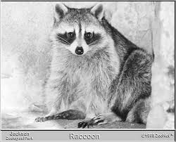 Https Www Aphis Usda Gov Wildlife Damage Nwrc Publications Living Raccoons Pdf