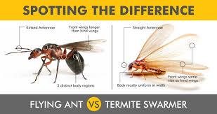 18+ Flying White Ants Australia Pictures