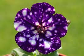 Cvijeće za one koji žele imati mali dio galaksije na svom balkonu