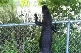 Video Alligator With Ninja Skills Deftly Climbs Fence Outdoorhub