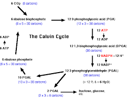 photosynthesis pathway of carbon fixation