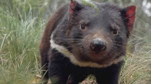La vita segreta del Diavolo della Tasmania - NOW TV