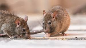 how to get rid of rats howstuffworks