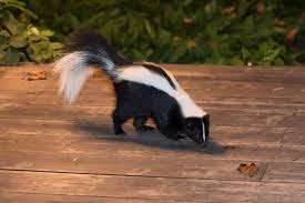 What Should You Do If You See A Skunk Advanced Ipm