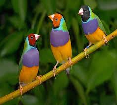 عصافير الزينة خلفيات عصافير جميلة كيف