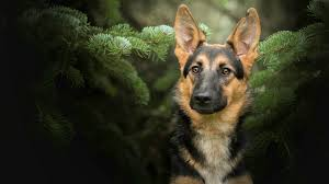 german shepherd dog wallpapers top