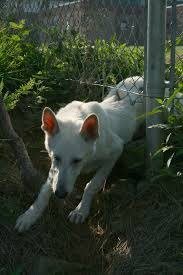 File 2008 07 15 White Gsd Pup Climbing Under Fence Jpg Wikimedia Commons