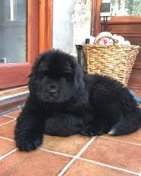 Newfoundland Mix Puppies For Adoption ...