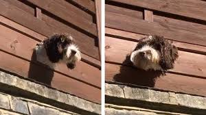 Dog Has Hole In Fence To Look At People Youtube