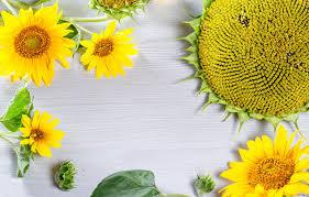 wallpaper leaves sunflowers
