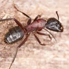 View Flying Carpenter Ants Pictures PNG