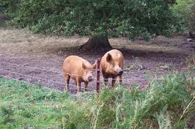 Electric Hog Fence To Contain Free Ranging Pigs Stuff4petz