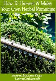 backyard medicine medicinal plants