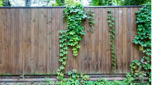 The Do S And Don Ts Of Growing Fence Friendly Vines