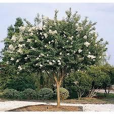 Monrovia 3.58-Gallon White Natchez Crape Myrtle Flowering Tree in ...