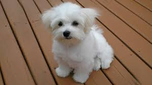 10 cutest small dog breeds the most