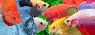 Image result for betta fish cover