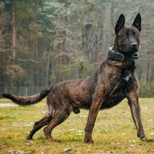 DUTCH SHEPHERD #dutchshepherd From ...