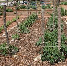 Staking And Pruning Tomatoes In The Home Garden Uga Cooperative Extension