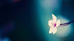 free spring flowers wallpaper mobile at