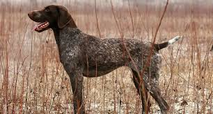 german shorthaired pointers everything