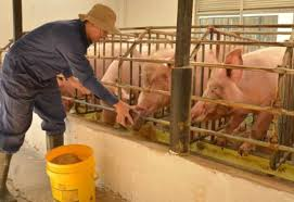 Cerdos: gorditos y rentables, recomendaciones para una buena ...