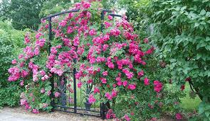 rose care learn how to plant grow and