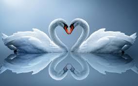 تحميل خلفيات البجع الأبيض الحب الطيور القلب رومانسية طيور