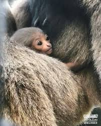 ABC Perth - New baby Javan gibbon   Facebook