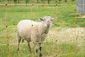 The Shocking Truth About Electric Fencing For Sheep Countryside