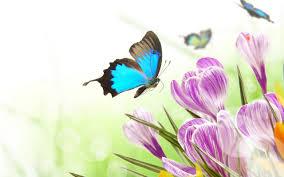 crocuses and blue erflies hd