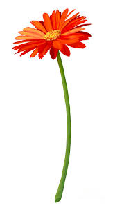 Image result for gerbera flower