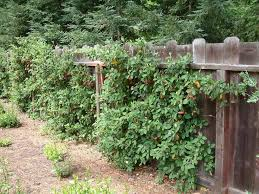 Vine Covered Wooden Fence