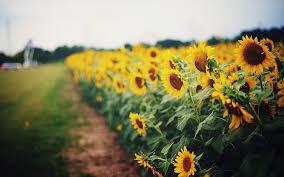 hd wallpaper sunflowers greens field