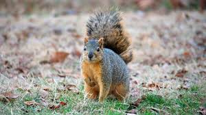 2 foot tall squirrels caught on camera
