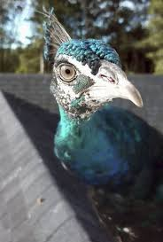 Vermont couple looking for family peacock among the turkeys - The ...