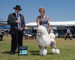 dog shows admiration standard poodles