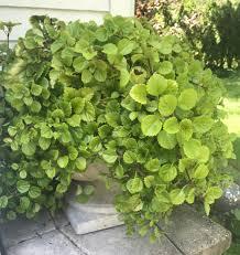 HB – Swedish Ivy – Green – Wheaton Garden Club