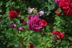صور لـ منتزه إزهار جميلة ربيع ورود