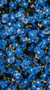 خلفية ورد أزرق جميل وهادئ Hd