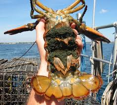 The Life Of A Female Lobster ...
