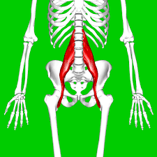 Psoas major muscle - treatment and stretches.